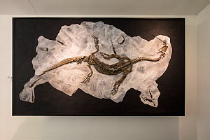 Fossil of a Ceresiosaurus with several much  smaller  skeletons of Neusticosaurus. Fossil Museum of Monte San Giorgio, UNESCO World Heritage Site, Ticino, Switzerland.  -  Franco  Banfi