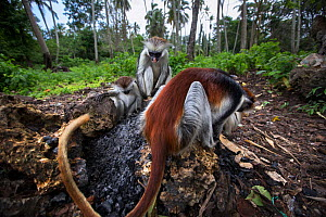 Zanzibar red colobus (Procolobus kirkii) group feeding on charcoal. Jozani-Chwaka Bay National Park, Zanzibar, Tanzania. May.  -  Anup Shah
