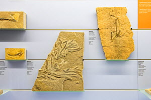 Fossil of a Conifer (Voltzia sp.) branch from the Middle Triassic period, Fossil Museum of Monte San Giorgio, UNESCO World Heritage Site, Ticino, Switzerland.  -  Franco  Banfi