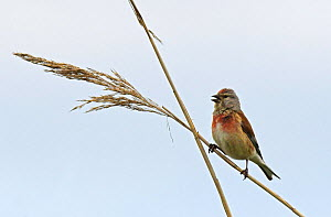 Common linnet (Carduelis flavirostris) singing from a reed stem over territory. Druridge, Northumberland, England, UK, June  -  Roger Powell