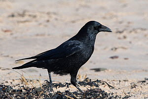 Carrion crow (Corvus corone) searching for food along tideline drift. Druridge Bay, Northumberland, UK, February - Roger Powell