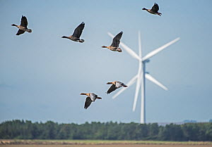 Flock of Pink-footed geese (Anser brachyrhynchus) flying in front of a wind turbine. Druridge Bay, Northumberland, England, UK, October  -  Roger Powell