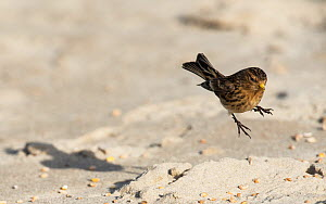 Twite (Linaria flavirostris) landing on beach to feed. Druridge Bay, Northumberland, England, UK, February  -  Roger Powell