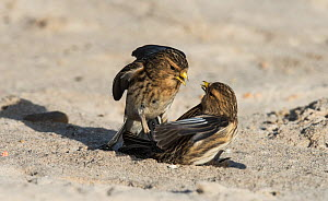 Pair of Twites (Linaria flavirostris) fighting. Druridge Bay, Northumberland, England, UK, February  -  Roger Powell