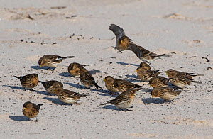 Twites (Linaria flavirostris) feeding on beach. Druridge Bay, Northumberland, England, UK, February  -  Roger Powell