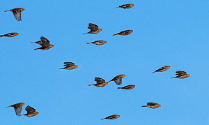 Flock of Twites (Linaria flavirostris) in flight. Druridge Bay, Northumberland, England, UK, February  -  Roger Powell