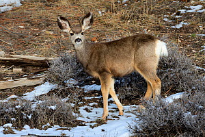 Mule deer (Odocoileus hemonius) doe, Bryce Canyon National Park, Utah, USA, March. - Jouan Rius