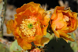 Prickly Pear Cactus (Opuntia sp) in flower, Saguaro National Park, Arizona, USA. April. - Jouan Rius