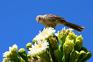 Curve-billed Thrasher (Toxostoma curvirostre) feeding on nectar in Saguaro cactus blossom (Carnegiea gigantea), Lost Dutchman State Park, Arizona, USA, April.  -  Jouan Rius