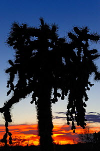 Chain-fruit or Jumping cholla (Cylindropuntia fulgida) silhouetted at sunset, Saguaro National Park, Arizona, USA, April. - Jouan Rius