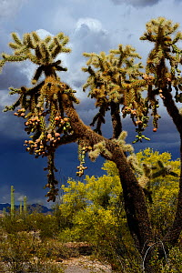 Chain-fruit or Jumping cholla (Cylindropuntia fulgida), Organ Pipe Cactus National Monument, Sonoran Desert, Arizona, USA, April. - Jouan Rius