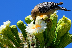 Gila woodpecker (Melanerpes uropygialis) female feeding on nectar in Saguaro cactus blossom (Carnegiea gigantea), Lost Dutchman State Park, Arizona, USA, April 2014. - Jouan Rius