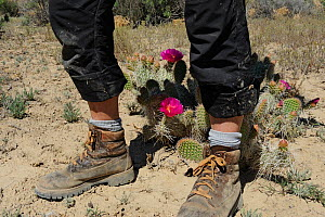 Legs and walking boots next to Desert Prickly Pear Cactus (Opuntia sp) with pink flower , Grand Staircase-Escalante National Monument, Utah, USA, May. - Jouan Rius