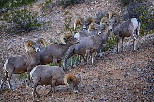 Desert Bighorn sheep (Ovis canadensis) flock, Valley of Fire State Park, Nevada, USA, May.  -  Jouan Rius