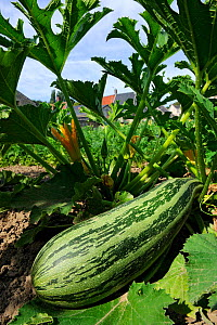 Large courgette / marrow (Cucurbita pepo) growing in vegetable garden, France, August 2013. - Jouan Rius