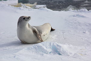 Antarctica Crabeater Seal (Lobodon carcinophaga) on sea ice, Bellinghausen Sea, near Peter I Island, Antarctic Peninsula,   January.  Photographed for The Freshwater Project  -  Michel  Roggo