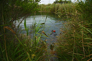 Photographer Michel Roggo at work at Stratman's Ponds, spring-fed limestone pond. Mount Gambier area, South Australia, Australia March 2015. Photographed for The Freshwater Project  -  Michel  Roggo