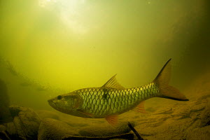 Fish in the Sungai Melinau river, Gunung Mulu National Park, Sarawak, Borneo, Malaysia. Photographed for The Freshwater Project.  -  Michel  Roggo