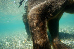 Underwater view of Brown bear (Ursus arctos), fishing for Sockeye salmon in the Ozernaya River, Kuril Lake, South Kamtchatka Sanctuary, Russia  -  Michel  Roggo