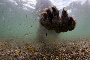 Underwater view of Brown bear (Ursus arctos) paw fishing for Sockeye salmon (Oncorhynchus nerka) with paw outstretched. Ozernaya River, Kuril Lake, South Kamtchatka Sanctuary, Far East Russia. August. - Michel  Roggo