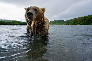 Brown bear (Ursus arctos), fishing for Sockeye salmon (Oncorhynchus nerka) in the Ozernaya River, Kuril Lake, South Kamtchatka Sanctuary, Far East Russia. August. - Michel  Roggo