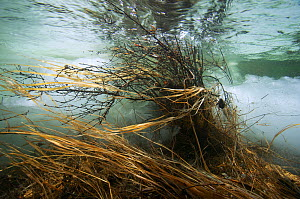 Underwater view of meltwater in icefield on the Temnik River With Willows (Salix sp.) Temnik River, Baikal Nature Reserve, Buryatia, Siberia, Russia, May 2015.  -  Michel  Roggo