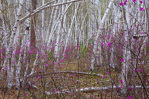 Forest on shore of Temnik river, in spring with Siberian Rhododendron (Rhododendron dauricum) and Birch (Betula sp.)  Temnik River, Baikal Nature Reserve, Buryatia, Siberia, Russia, May 2015. - Michel  Roggo