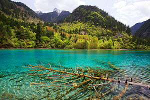 Five Flowers Lake, with trees in the water covered with travertine Jiuzhaigou National Park, Jiuzhaigou Valley Scenic and Historic Interest Area UNESCO World Heritage Site, Sichuan, China. May 2013. P... - Michel  Roggo