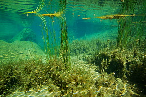 Underwater view of Wadi Al Shab,  with aquatic plants and algae, Al Sharqiyah South Governorate, Sultanate of Oman. February. Photographed for The Freshwater Project - Michel  Roggo