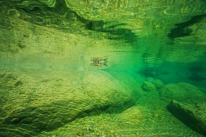 Wadi Al Arbiyeen Muscat Governorate, Sultanate of Oman Underwater shot February 2015 . Photographed for The Freshwater Project  -  Michel  Roggo