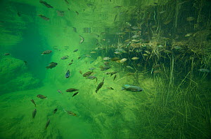 Underwater view of Wadi Al Arbiyeen With Tilapia, probably Nile Tilapia (Oreochromis niloticus)  Muscat Governorate, Sultanate of Oman. February. Photographed for The Freshwater Project  -  Michel  Roggo