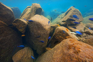 Cichlids (Cichlidae) in Lake Malawi,   Malawi, November. Photographed for The Freshwater Project. - Michel  Roggo