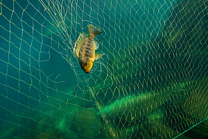 Cichlids (Cichlidae)  in fishing net in Lake Malawi,  November. Photographed for The Freshwater Project. - Michel  Roggo