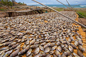 Cichlids (known as Utaka), drying on the shore of Lake Malawi, , Malawi. Photographed for The Freshwater Project October and November 2015 - Michel  Roggo