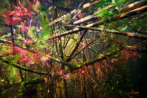 Underwater view of flooded gallery forest of the Danube Delta in spring, with roots of Willows (Salix sp.) Danube Delta Biosphere Reserve, Romania May 2015 . Photographed for The Freshwater Project  -  Michel  Roggo