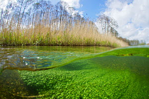 Split level view with plants underwater and reeds growing along the banks  of the River Itchen, chalk stream at Winnall Moors, Winchester, Hampshire, England, UK, July. Photographed for The Freshwater...  -  Michel  Roggo