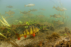 River Itchen at Abbotts Barton, chalk stream with Perch (Perca fluviatilis) and Roach (Rutilus rutilus) Hampshire, England, UK. Photographed for The Freshwater Project - Michel  Roggo