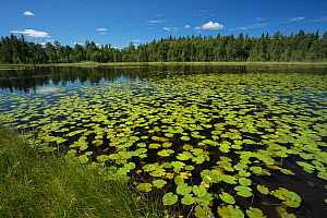 Small lake in the Lycksele area, Ume  River tributary With Yellow waterlily (Nuphar lutea)  Lapland, Sweden. July 2016. Photographed for The Freshwater Project - Michel  Roggo