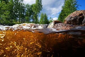 Small tributary of the Ume River with red colour from dissolved peat tannins. Lapland, Sweden. July / August 2015 . Photographed for The Freshwater Project - Michel  Roggo