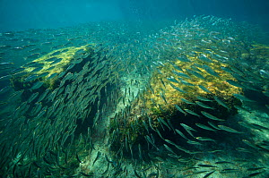 School of Scaled herring or Scaled sardine (Harengula clupeola), entering from the sea into the freshwater of the Laguna Yal Ku, Quintana Roo, Yucatan Peninsula, Mexico. Photographed for The Freshwate... - Michel  Roggo