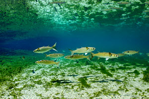 Striped mullet (Mugil cephalus) in  Fanning Springs State Park, Florida, USA. March. Photographed for The Freshwater Project  -  Michel  Roggo