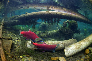 Sockeye Salmon (Oncorhynchus nerka) on spawning ground in groundwater channel, with trees cut by beavers Adams river, British Columbia, Canada, October.    Photographed for the Freshwater Project. - Michel  Roggo