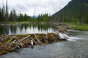 North American  Beaver (Castor canadensis) dam, Northern Rockies, Muskwa-Kechika Protected Area, British Columbia, Canada, July 2011. Photographed for The Freshwater Project  -  Michel  Roggo