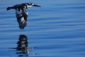 Pied kingfisher (Ceryle rudis) in flight, Chobe River, North-West District, Botswana.  -  Lucas Bustamante