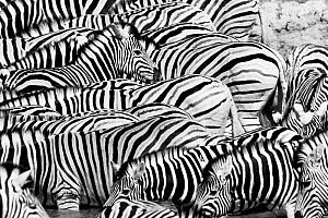 Black and white view of Plains Zebra (Equus quagga) herd, Etosha National Park, Kunene, Namibia.  -  Lucas Bustamante