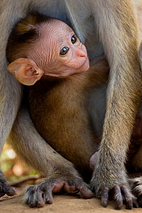 Toque Macaque (Macaca sinica) baby peering through mothers legs, Yala National Park, Southern Province, Sri Lanka.  -  Lucas Bustamante