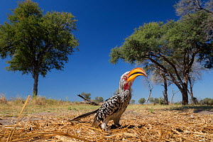Southern yellow-billed hornbill (Tockus leucomelas) on ground, Moremi Game Reserve, Botswana.  -  Lucas Bustamante