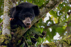 Spectacled or Andean Bear (Tremarctos ornatus) looking out from tree branch, Maquipucuna, Pichincha, Ecuador. - Lucas Bustamante
