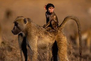 Chacma Baboon (Palio ursinus) infant riding on mothers back, Chobe River, North-West District, Botswana.  -  Lucas Bustamante