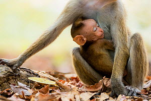 Toque macaque (Macaca sinica) with sleeping baby , Yala National Park, Southern Province, Sri Lanka.  -  Lucas Bustamante